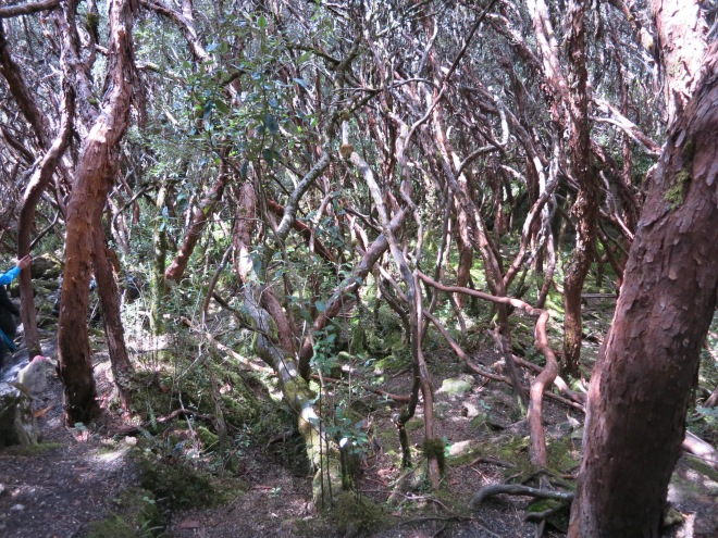 Paper trees, Cajas National Park, Cuenca, Ecuador